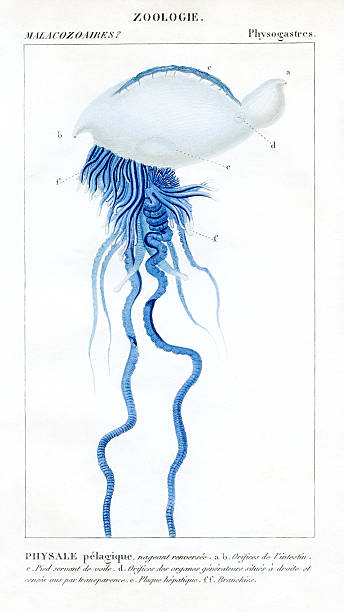 Portuguese Man o' War,scientific  Illustration, 1816 stock photo