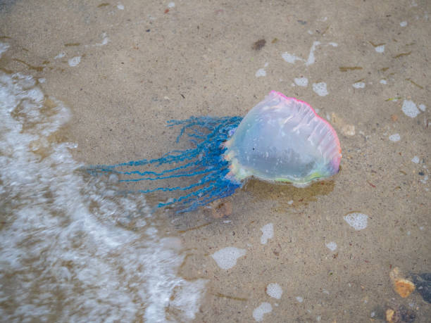 portuguese man of war stock photo