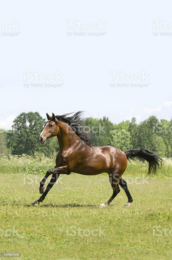 Portuguese stallion royalty-free stock photo