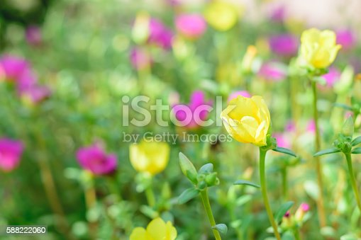 Portulaca flower (Sunrose Moss Rose or Purslane)