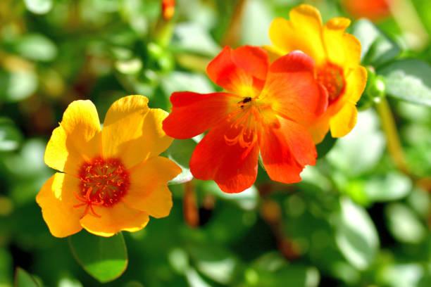 Portulaca Blumen – Foto