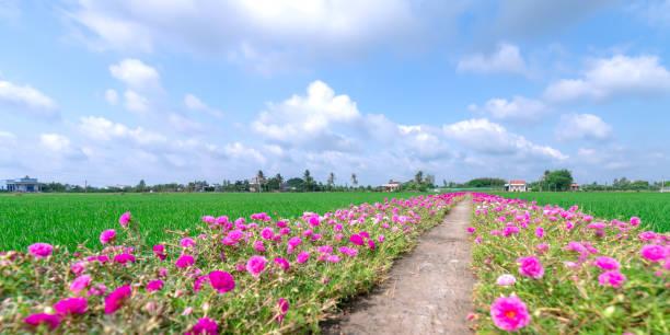 Portulaca grandiflora Blumen blühen entlang des Weges, der zum Bauernhaus führt – Foto