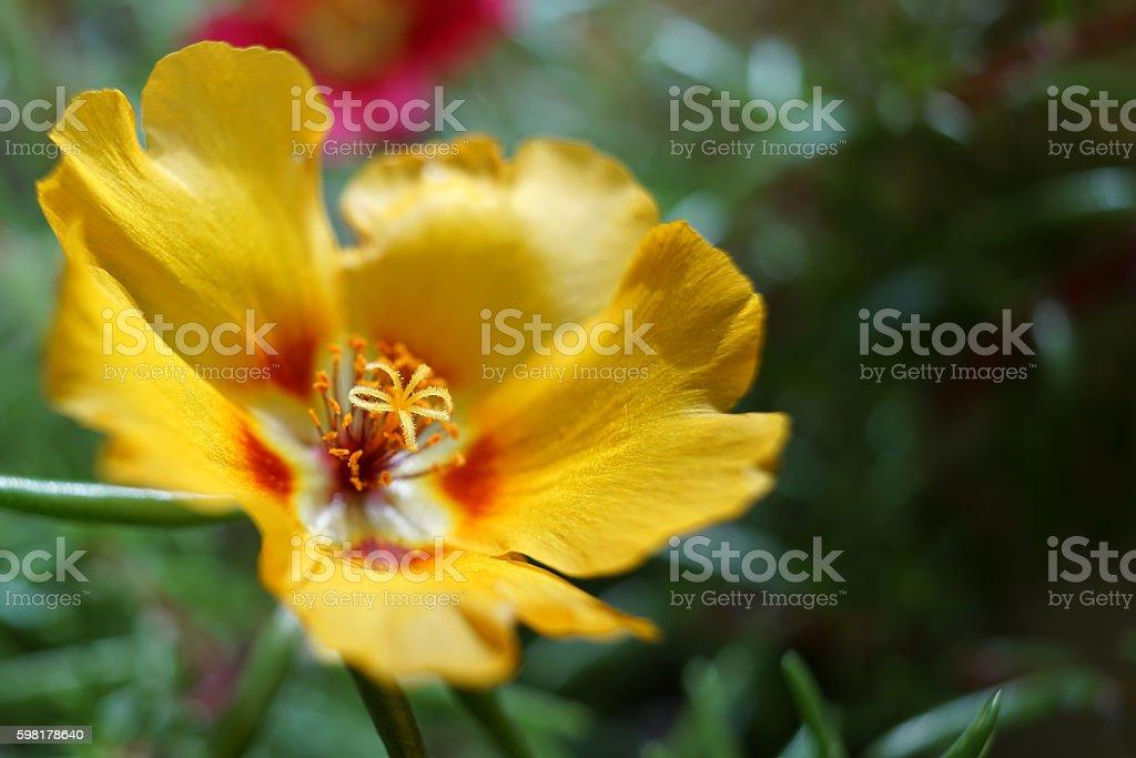 Portulaca Oleracea grandiflora foto royalty-free