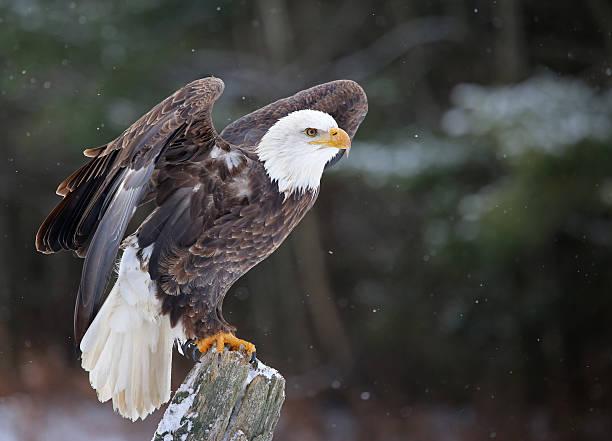 posed bald eagle - neerstrijken stockfoto's en -beelden