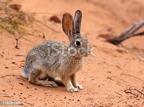 A Desert Cottontail (Sylvilagus audubonii) sitting in the sand in Arches National Park, Utah.