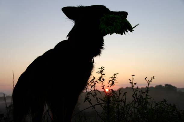 Posing dog in silhouette picture id900021510?b=1&k=6&m=900021510&s=612x612&w=0&h=fdp33bmq hmtn  2gx3d1rzyemdwqmnnlfjsjx0o7va=