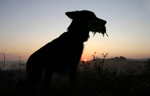 Posing dog in silhouette picture id900021512?b=1&k=6&m=900021512&s=612x612&w=0&h=adrxsudzbczgjjucxnujvn4izjq0fkpuopltlfe7eos=