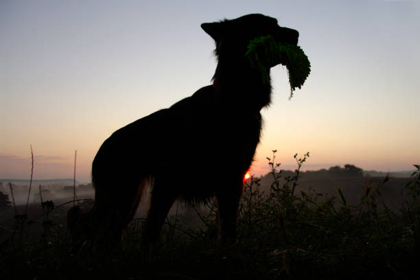 Posing dog in silhouette picture id900021518?b=1&k=6&m=900021518&s=612x612&w=0&h=udx mzgke52axctiz1inozz1lctw olbjhyf53mvl2a=