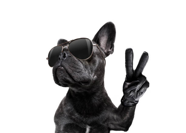 posing dog with sunglasses and peace fingers stock photo