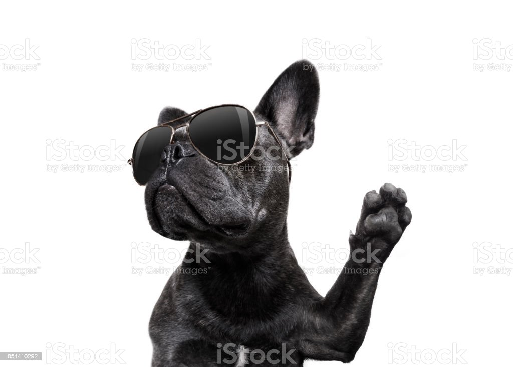 posing dog with sunglasses high five - foto stock