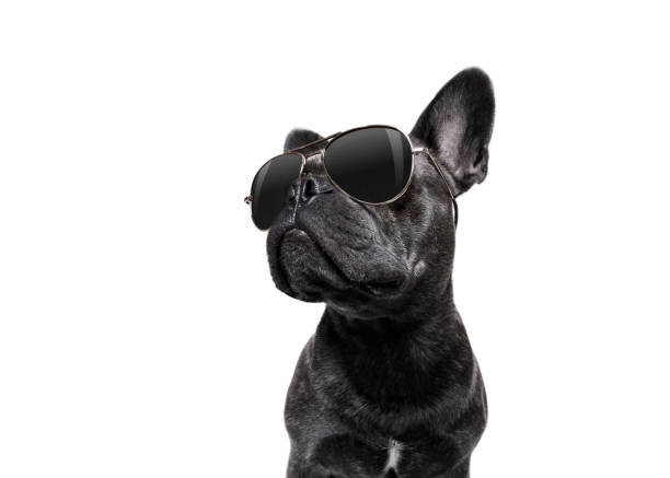 posing dog with sunglasses - cool attitude stock photos and pictures
