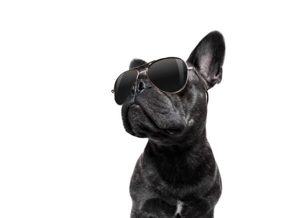 köpek güneş gözlüğü ile poz - havalı tutum stok fotoğraflar ve resimler