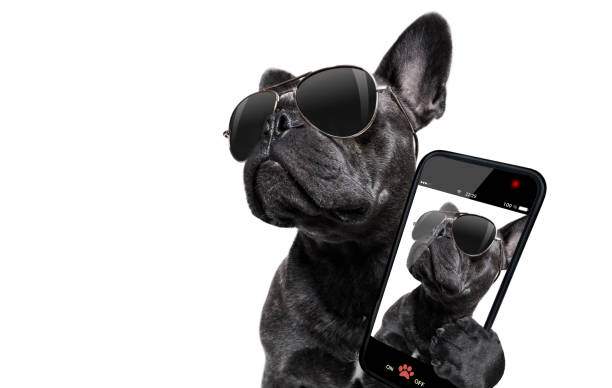 posing dog with sunglasses - webcam stock photos and pictures