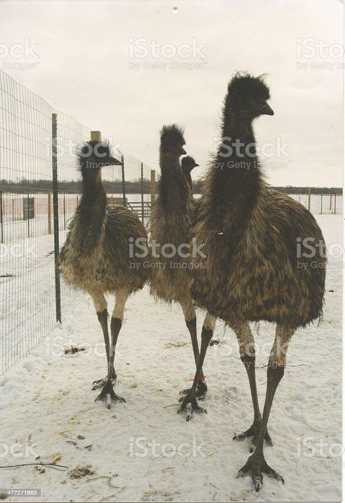 Posing Emu. stock photo