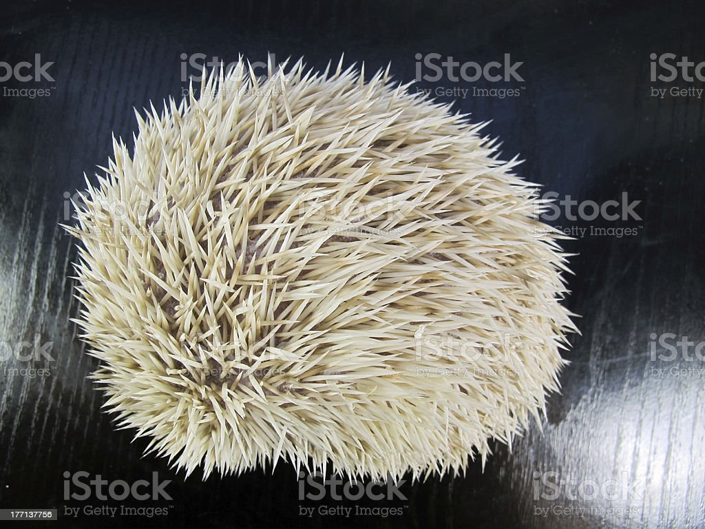 posing little African hedgehog royalty-free stock photo