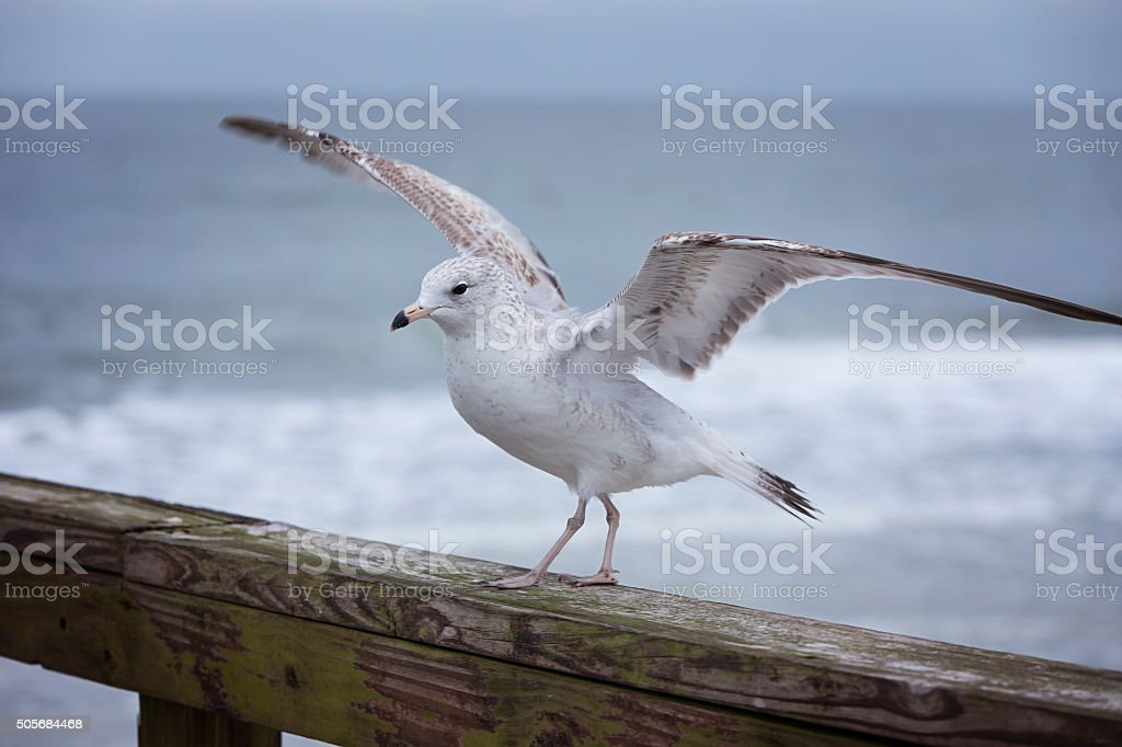 Posing Seagull stock photo