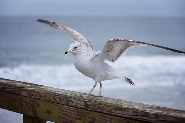 Posing Seagull stock photo