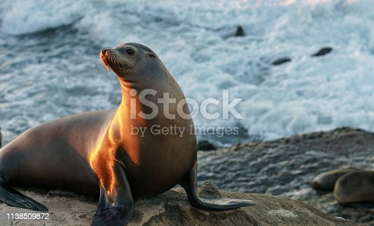 A seal posing on a rock during sunset