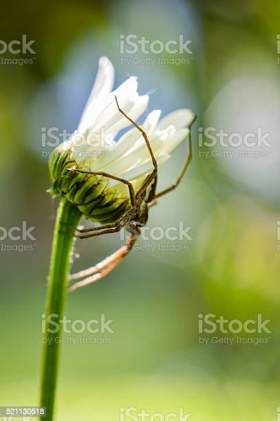 Photo of possessive spider on a daisy