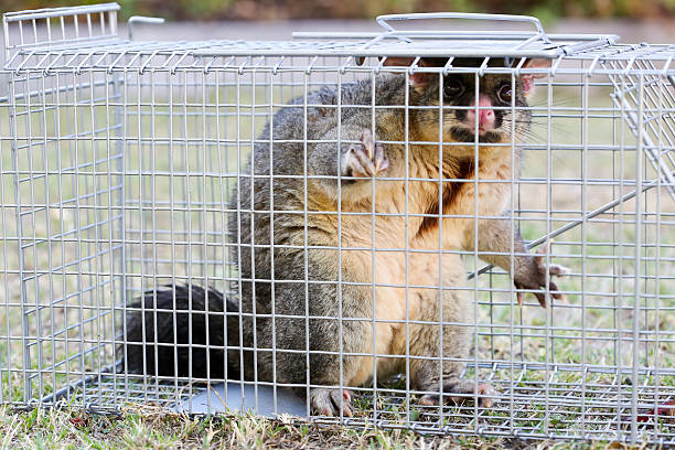 possum pris dans la nasse - cage animal nuit photos et images de collection