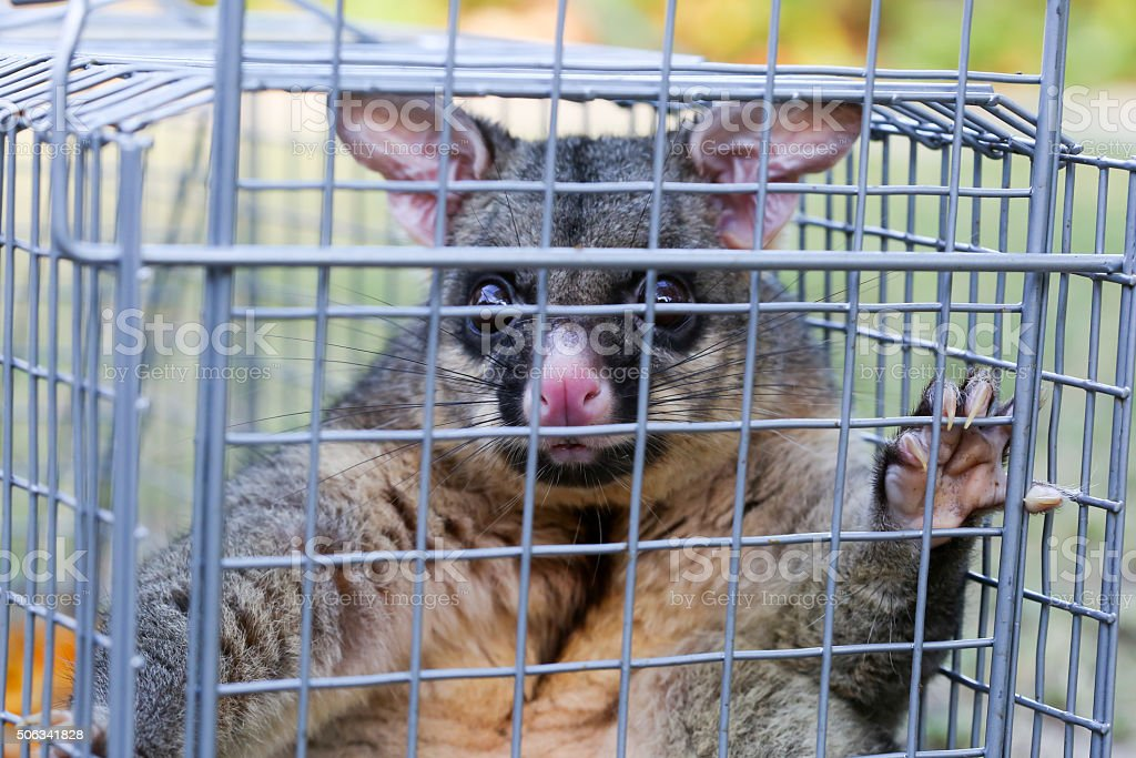 Possum Caught In a Trap stock photo