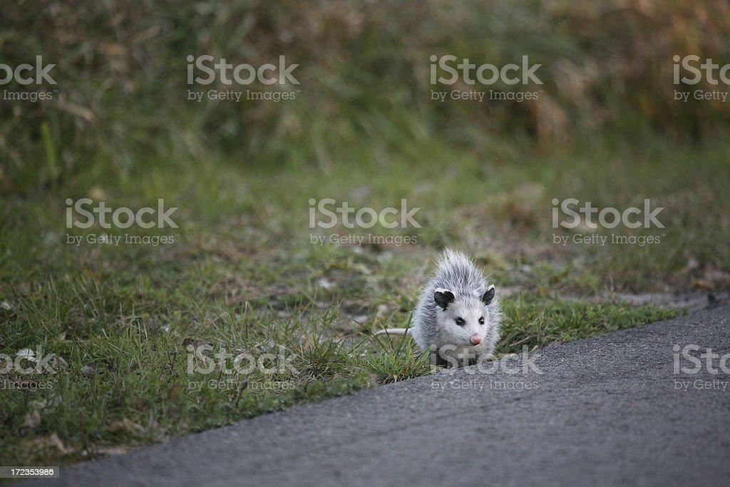 Possum Crossing The Road royalty-free stock photo