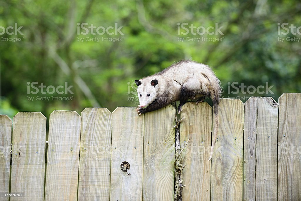Possum on top of fence royalty-free stock photo