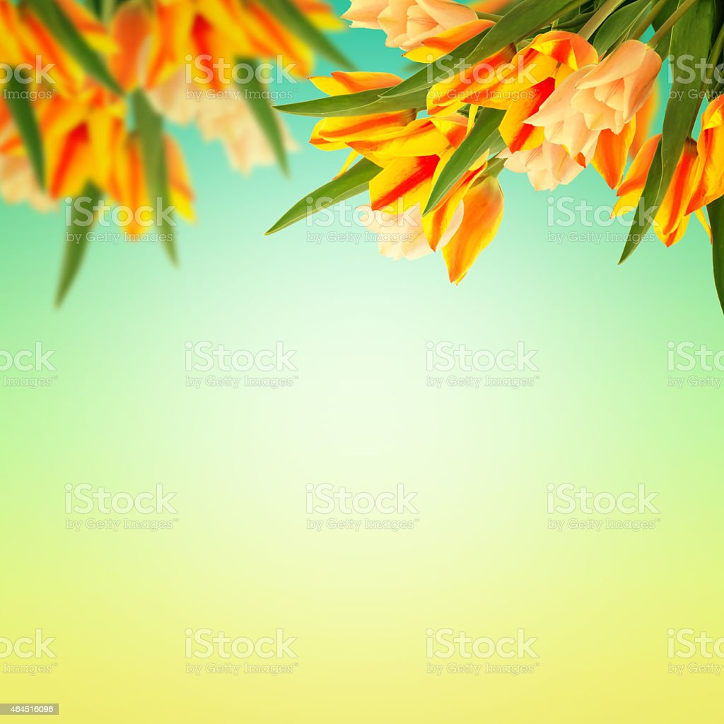 Postcard with fresh tulips  flowers and empty  place for you stock photo