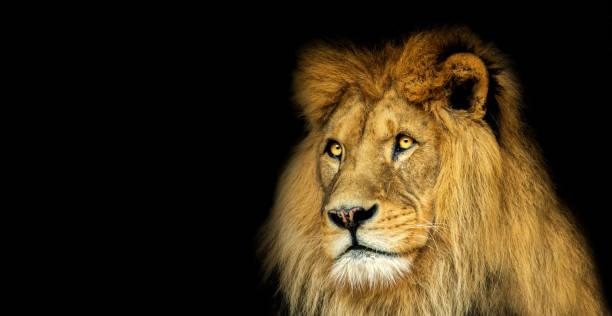 Best Black Lion Wallpaper Stock Photos Pictures Royalty