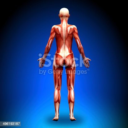 496193187 istock photo Posterior view - Female Anatomy Muscles 496193187