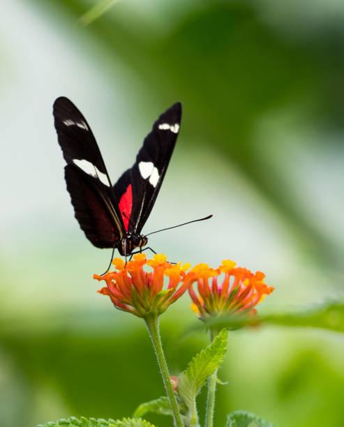 Postman butterfly picture id1047041906?b=1&k=6&m=1047041906&s=612x612&w=0&h=yihfwg7r2l 2oy9u32koploqgf nmxq4hs0f56nhvdq=