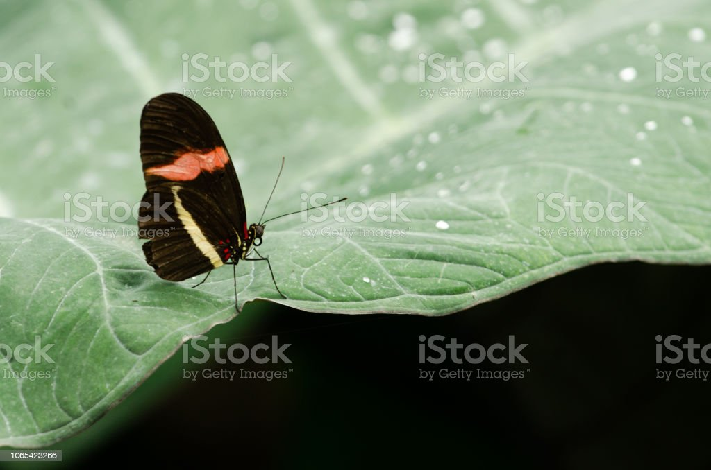 Postman Butterfly stock photo