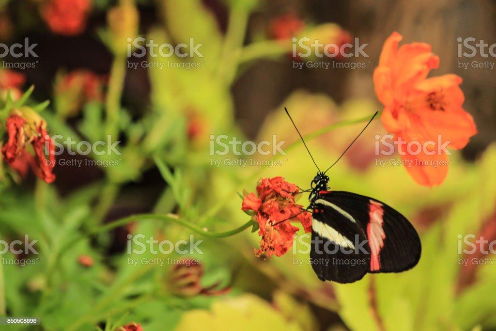 Postman Butterfly stock photo