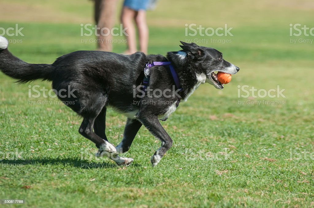 Posture of speed for the herder stock photo