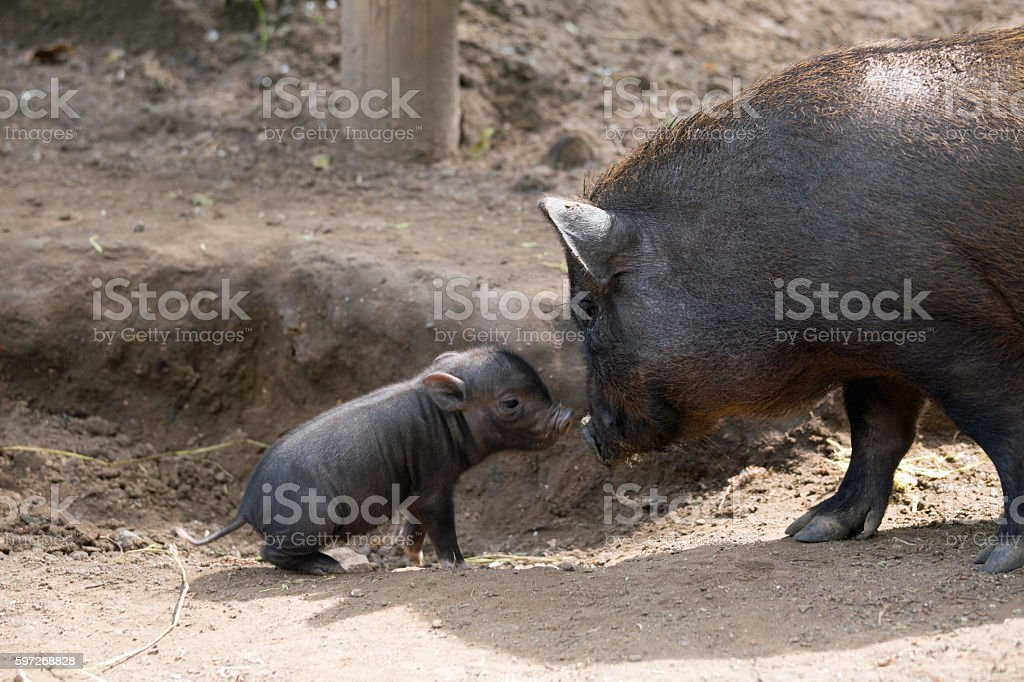 Pot bellied pig and piglet royalty-free stock photo