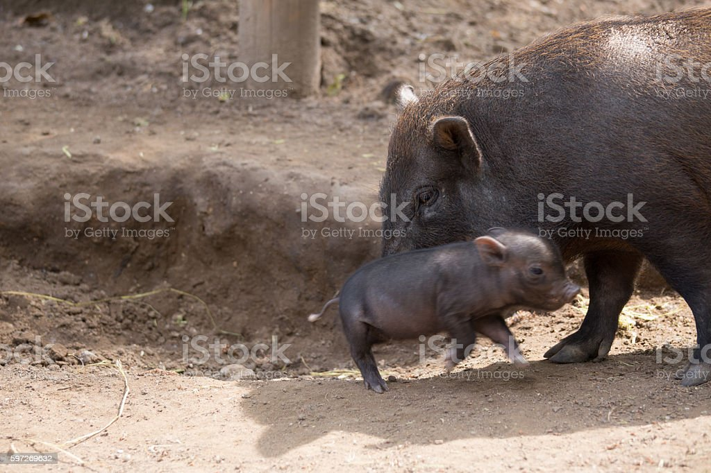 Pot bellied pig and piglet Lizenzfreies stock-foto