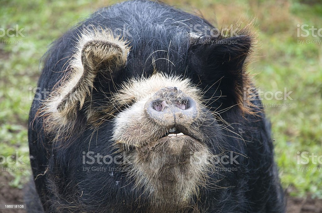 Pot Bellied Pig Face royalty-free stock photo