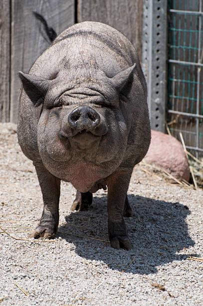 pot saucerrotia schwein - pig ugly stock-fotos und bilder