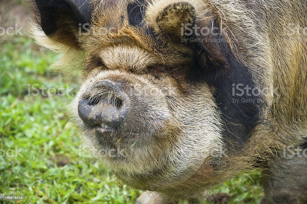 Pot Bellied Pig royalty-free stock photo