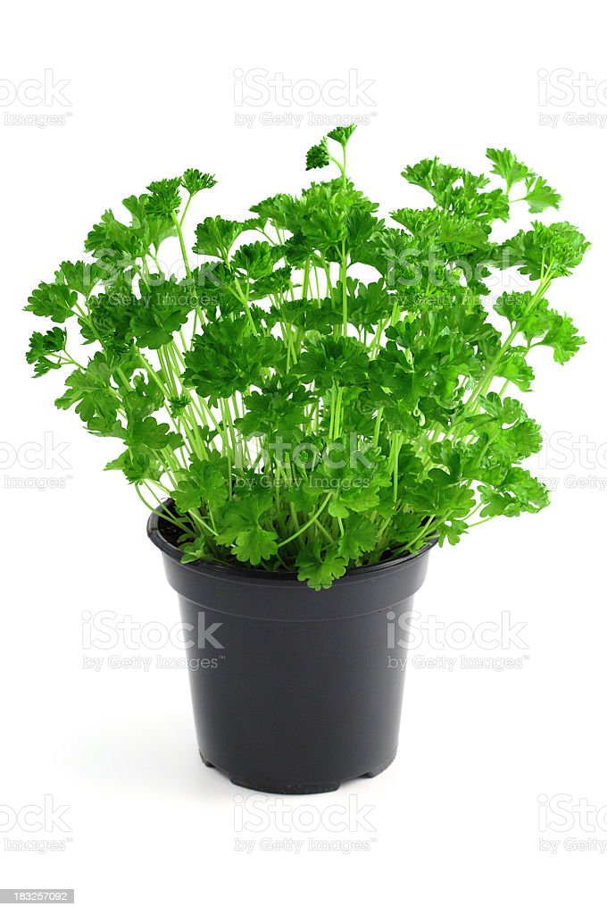 pot Garden Parsley (Petroselinum crispum) stock photo