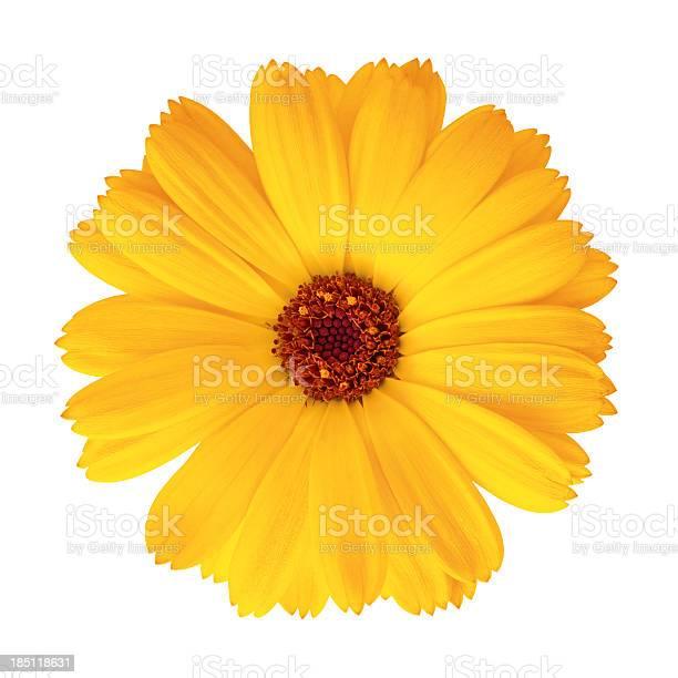 Pot marigold calendula officinalis picture id185118631?b=1&k=6&m=185118631&s=612x612&h=rzu8uxlbiqpbupvxmhswwjktnnbikaycs gr8  mola=