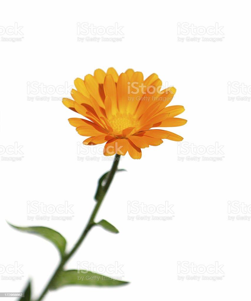 Pot Marigold flower (Calendula officinalis) isolated on white. royalty-free stock photo