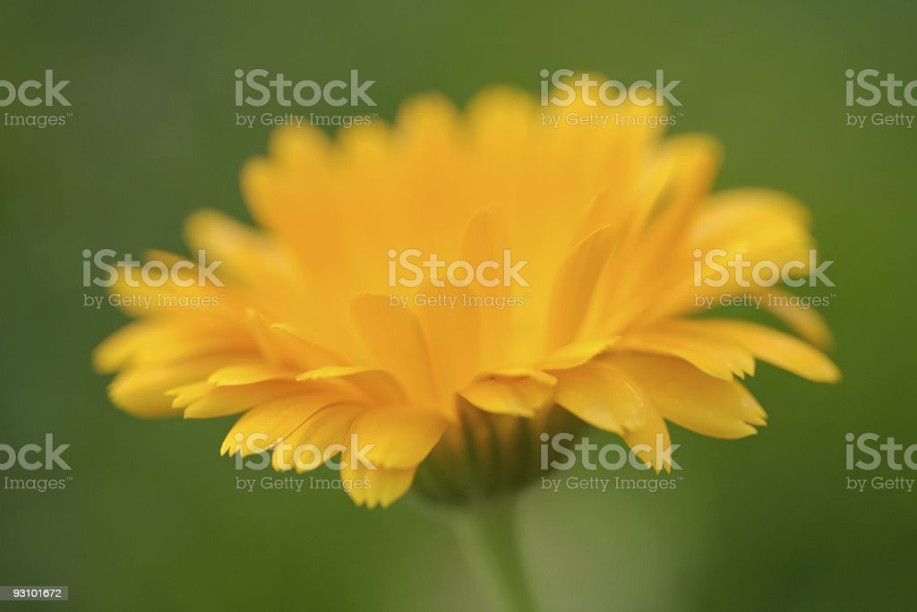 Pot marigold flower royalty-free stock photo