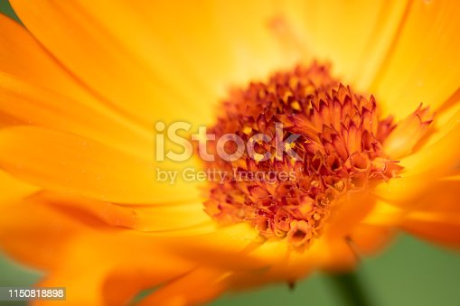 Pot marigold in macro