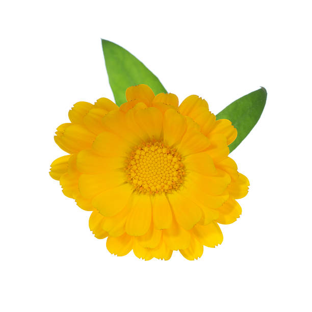 Pot Marigold Isolated on White stock photo