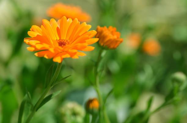 Pot Marigold (Calendula officinalis) on blur background. stock photo