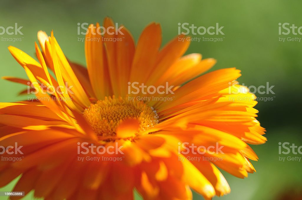 pot marigold royalty-free stock photo
