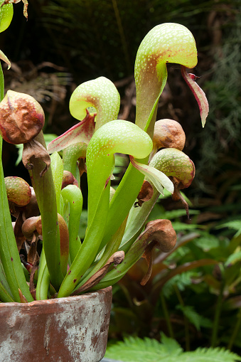 Pot of Darlingtonia californica with distinctive serpent's tongue forked leaves