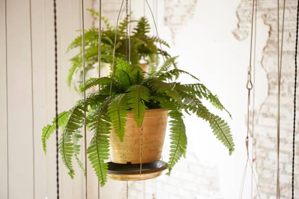 topf mit pflanze hängen - farn stock-fotos und bilder