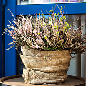 pot of heather. Still life with Heather in a clay pot